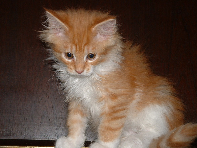 b2ap3_thumbnail_Cat-MaineCoon-Cookie.png